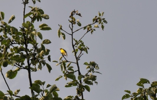 Goldfinch in one of our apple trees in Bobbie?s Meadow.