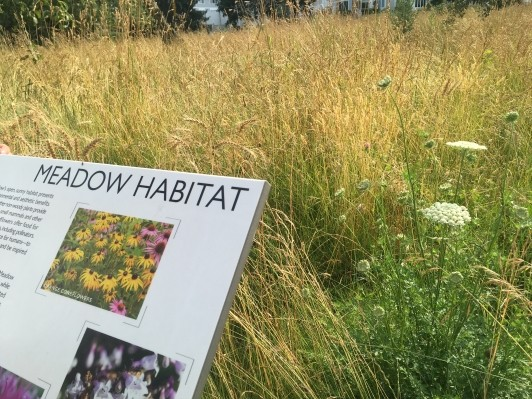 Detail of the growing meadow, Queen Anne?s lace, rye, and a sign about meadow habitats