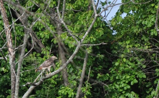 Eastern Red-tailed Hawk on a tree.